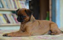 пти брабансон - маленькая комнатная собачка