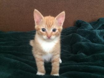 Свежее foto Отдам даром - приму в дар Отдам котят в добрые руки, рыжие игривые, здоровые 66349686 в Краснодаре