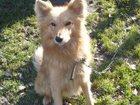 Изображение в Собаки и щенки Продажа собак, щенков Отдам сторожевую собаку в хорошие, добрые в Красноярске 0