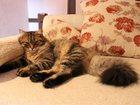 Фотография в Кошки и котята Вязка Нужна кошечка для Сибирского молоденького в Красноярске 0