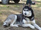 Изображение в Собаки и щенки Вязка собак ищу кобеля хаски для вязки. обязательно с в Красноярске 0
