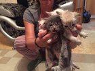 Фотография в Отдам даром - Приму в дар Отдам даром Подарю замечательных маленьких котят. Находимся в Красноярске 0