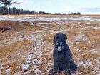 Фотки и картинки Русский чёрный терьер смотреть в Красноярске