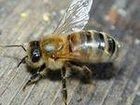 Уникальное изображение Другие животные Пчелопакеты Карпатка доставка по России 34350391 в Омске