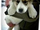 Фотография в Собаки и щенки Продажа собак, щенков Чистокровный щенок алабая, сука, возраст в Красноярске 5000