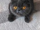 Изображение в Кошки и котята Вязка Ищем кота, любой породы. в Красноярске 0