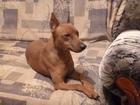 Изображение в Собаки и щенки Вязка собак Кобель-цвергпинчер (минидоберман, карликовый в Красноярске 0
