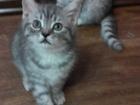Фото в Кошки и котята Продажа кошек и котят Родились 27 января (нам уже 2 месяца), 2 в Красноярске 3000