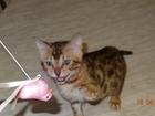 Фото в Кошки и котята Продажа кошек и котят Продаются бенгальские котята. От титулованных в Красноярске 15000