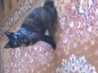 Фотография в Кошки и котята Вязка Срочно ищем котика-бобтейла для вязки. У в Красноярске 0