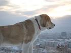 Изображение в Собаки и щенки Продажа собак, щенков Продаются щенки САО. Осталось 2 кобеля и в Красноярске 15000