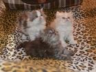 Фото в Кошки и котята Продажа кошек и котят Чистокровные персидские котята, экстремального в Красноярске 2500