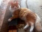 Изображение в Кошки и котята Вязка Молодой, сибирский котик ищет кошечку для в Красноярске 0