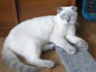 Фотография в Кошки и котята Вязка Породистый, с документами, кот редкого окраса в Красноярске 0