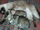 Скачать бесплатно foto Отдам даром Отдам голубоглазых котят 37629333 в Красноярске