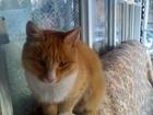 Изображение в Потерянные и Найденные Потерянные ПрибилсЯ молодой кот крупный, белые лапки, в Красноярске 0