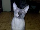 Изображение в Кошки и котята Вязка Замечательный кот ищет кошечку в Красноярске 0