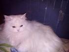 Ищем белого персидского кота