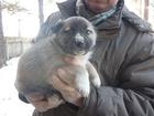 Новое фотографию Отдам даром - приму в дар Отдадим Щенка 38736727 в Красноярске