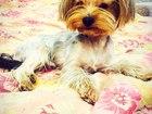 Уникальное foto Вязка собак Ищем девочку 38827930 в Красноярске