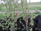 Смотреть фото  Саженцы лиственных деревьев 52867286 в Красноярске
