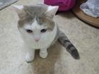Просмотреть фотографию Вязка кошек Кот британец ищет кошечку для приятных встреч, 52888942 в Красноярске