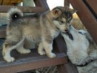 Фотки и картинки Аляскинский маламут смотреть в Красноярске