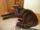 Новое изображение Вязка кошек Котик-шотландец для вязки 68568134 в Красноярске