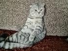 Увидеть foto Вязка кошек Шотландец ищет киску для приятного времяпровождения 69138506 в Красноярске