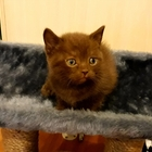 Котята британские голубого и щоколадного окраса