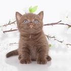 Предлагаются великолепные Британские кш котята