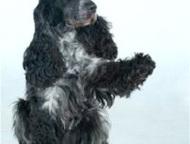 Пропала собака Английский кокер спаниель. Отзывается на кличку Грэй. Окрас: чёрн
