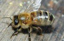 Пчелопакеты Карпатка доставка по России