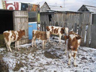 Скачать бесплатно foto  продам телят 33756420 в Красноярске