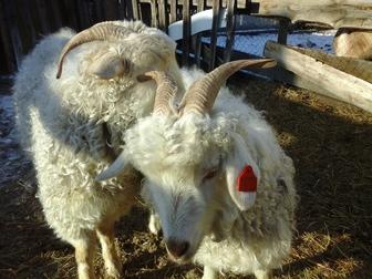 Просмотреть фотографию  Ангорские козы 35825840 в Красноярске
