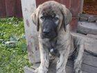 Фотография в Собаки и щенки Продажа собак, щенков Продаются Высокопородные щенки Испанского в Краснотурьинске 25000