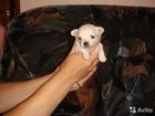 Изображение в Собаки и щенки Продажа собак, щенков Готовятся к продаже щенки длинношерстной в Краснотурьинске 20000