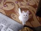 Изображение в Кошки и котята Продажа кошек и котят продам кошечку ангорской породы , з месяца. в Крымске 400