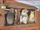 Фотография в   Распродaжа оптом экзотических птиц для зоомагазинов в Новосибирске 201