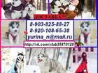 Фотография в Собаки и щенки Продажа собак, щенков Продам голубоглазых щенков хаски черно-белого в Кургане 0