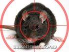 Фотография в   Уничтожение крыс и мышей в квартирах, подвалах, в Москве 1500