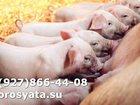 Свежее foto  Поросятакорытники 33998546 в Электростали