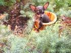 Фотография в Собаки и щенки Продажа собак, щенков Продаю щенков той-терьера, супер мини, мини, в Кургане 0