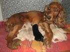 Фотография в Собаки и щенки Продажа собак, щенков Отдам в хорошие руки щенков английского к. в Кургане 0