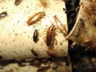 Фотография в   Борьба с тараканами. Уничтожение, травля в Москве 0