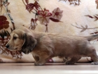 Просмотреть изображение  Клубные щенки миниатюрной длинношерстной таксы кремового окраса 38487068 в Москве