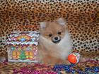 Фотография в Собаки и щенки Продажа собак, щенков Продается миниатюрная шпицедевочка для любви в Кургане 25000