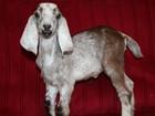 Увидеть фото  Нубийские козлята 38628434 в Москве