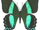 Увидеть фотографию  Живые тропические бабочки- Лучшие подарки на любые праздники! 38638348 в Махачкале