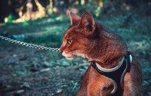 котята Чаузи